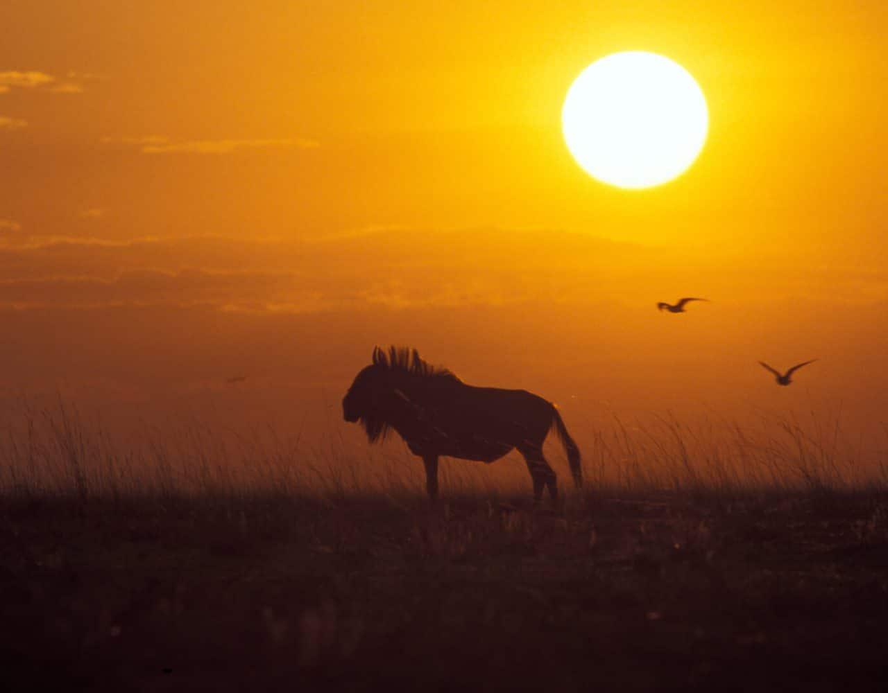 Sambesi Gnu Sonnenuntergang